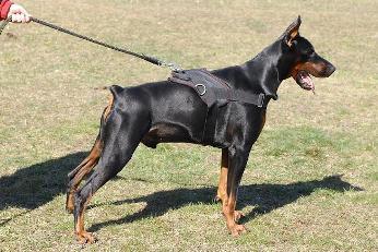 آموزش تربیت سگ شکاری/ارجینال